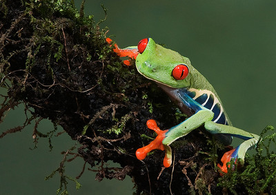 Ray Anderson - Red Eyed Frog