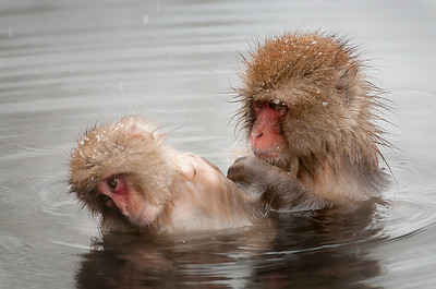 Tuck Leong - Snow Monkeys Two