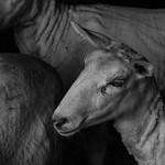 Ross Eddington - Sheepish.jpg