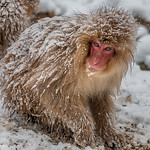 Tuck Leong - Snow Monkey