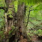 Rosie Hughes - TOOLANGI FOREST TREES