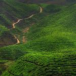 Ivan Tnay - Fields of tea