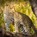 Dianne Willis - Leopard