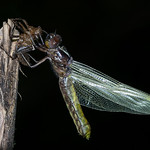 Jill Shaw - Emerging dragonfly