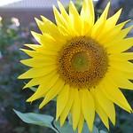 Nihal Basnagake - Sun Flower