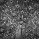 Marlene Chaitra - Peacock