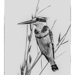 Dianne Willis - Pied-Kingfisher