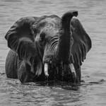 Richard Pilcher - African Elephant