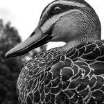Phillip Harris - Mono Duck