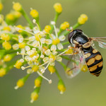 Jason Price - Hoverfly on Parsley Fowers