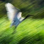 Tim Keane - Departing Ibis