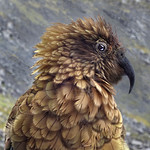 Ivan Tnay - Sharp eye Kea