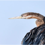 Dianne Willis - AFRICAN DARTER