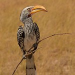 Dianne Willis - Yellow-billed Hornbill-1