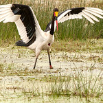 Dianne Willis - Saddled-Billed  Stork