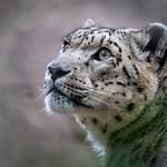 Geoff Shaw - Snow Leopard