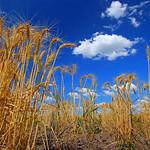 Alan Scott - Wheat Field