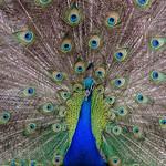 Richard Pilcher - Parading Peacock