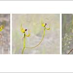 Tuck Leong - Caladenia lobata Triptych