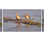 Dianne Willis - Here First !-Egyptian Geese and....