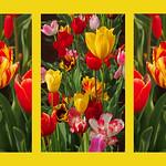 Albert Hutchinson - Tulip triptych