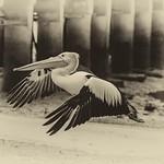 Michelle Golden - Pelican in flight