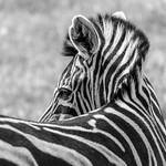 Geoff Shaw - Zebra 3