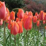 Donna Clarke - Tulips