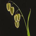 Richard Conn - Quaker Grass Tamed