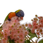Dianne Willis - Rainbow Lorikeet