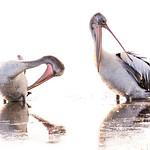 Anne Ramus - Pelican Pair (1 of 1)