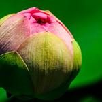 John Fairlie - lotus