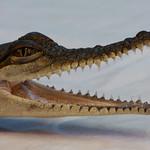 Donna Clarke - Baby Croc