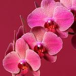 Jill Shaw - Orchids