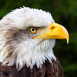 Geoff Shaw - Bald Eagle