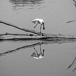 Ron Weatherhead - Royal Spoonbill Ballet