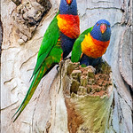 Ron Weatherhead - Rainbow Lorikeets