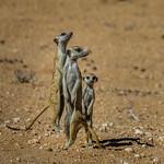 Richard Pilcher - Kgalagadi Meerkats