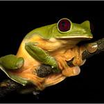 Geoff Shaw - Dark eyed leaf frog