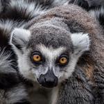 Geoff Shaw - Lemur 1