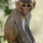 Jill Shaw - Young rhesus in Keoladeo national park