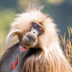 Helen Warnod - Gelada or Bleeding-Heart monkey