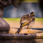 Anne Ramus - Noisy Miner Bathing