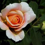 Alan Scott - Backyard Rose