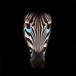 Tim Keane - Zebra Blue