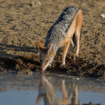 Richard Pilcher - Black Backed Jackal
