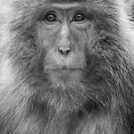 Trace O'Rourke - Portrait of a Japanese Macaque