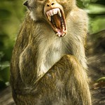 Anne Ramus - Yawning Monkey