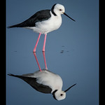 Dianne Willis - Black-Winged Stilt