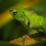 Marlene Chaitra - Green Garden Lizard in Sinharaja